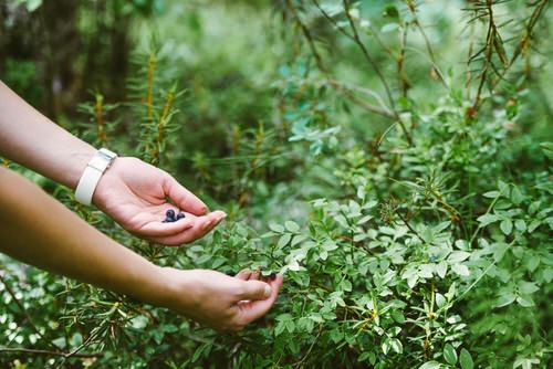 Tuoretta-mustikkaa-pensassa